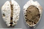 Kauri mit abgeschliffener Oberseite  China, Shang- u. Zhou-Dynastie, 16... 9,00 EUR  +  5,00 EUR shipping